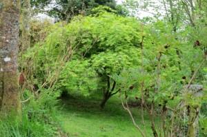 acer palmatum  with tree peony