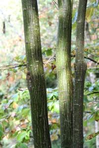 acer pensylvanicum (snake bark maple) (2)