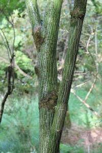 acer pensylvanicum (snake bark maple)