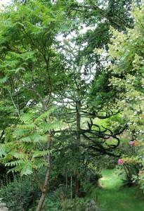 araucaria   (monkey puzzle tree) seen through sumach and hydrangea