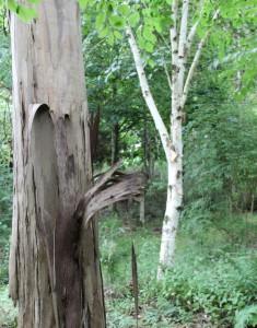 betula utilis var. jacquemontii (silver birch) with eucalyptus