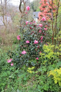 camellia williamsii Jermyns
