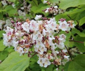 catalpa bignonioides (indian bean tree) flowers