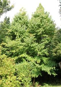 davidia involucrata (handkerchief tree - still waiting for the first handkerchiefs...)