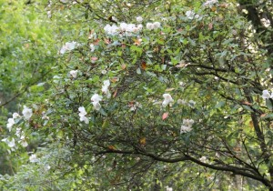 eucryphia branch in late summer