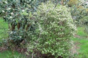 fothergilla gardenii (Witch alder) and drimys winteri