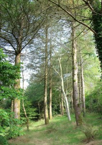 larix kaempferi (Japapnese larch) - larch grove with eucalyptus