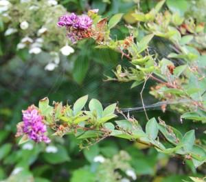 lespedeza (japanese clover bush) in bloom