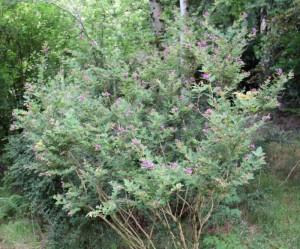 lespedeza thunbergii (Japanese bush clover)