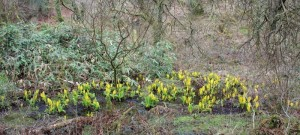 lysichiton (skunk cabbage) with bamboo