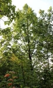 metasequoia glyptostroboides (dawn redwood)