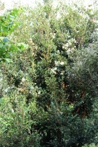 myrtus communis (myrtle) in bloom