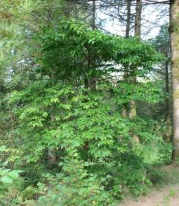 oxydendrum arboreum (sorrel tree)