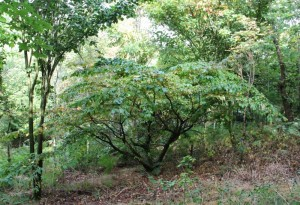 parrotia persica arched by acers