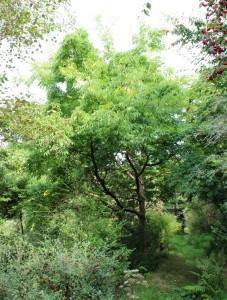 phellodendron (Amur cork tree)