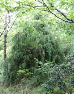 picea breweriana   (weeping spruce)