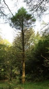 sequoiadendron giganteum  (wellingtonia)