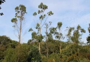 several declining eucalyptus