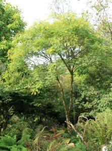 sophora japonica  (Japanese pagoda tree)